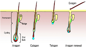 Hair-follicle-cycle-The-different-stages-of-the-adult-hair-follicle-are-divided-into